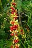 coffee ' cherry ' beans, Arabica typica.  Kona, Big Island of Hawaii