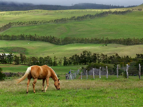 horse and rolling green hills, Waimea, Big Island of Hawaii