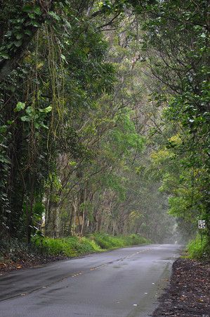 Tunnel of Trees leading to Old Koloa Town and Poipu, Kauai