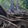 Moreton Bay fig tree featured in the movie, Jurassic Park; Allerton Garden, National Tropical Botanical Garden (NTBG), Kauai
