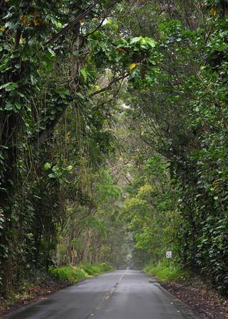 Tunnel of Trees leading to Old Koloa Town and Poipu, Kauai