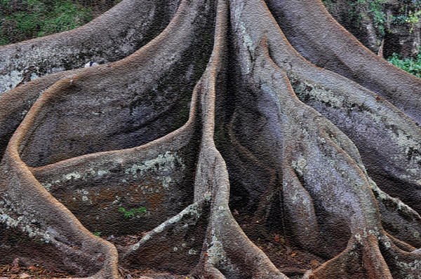 Art&Photo Illustration (texturized). Moreton Bay fig tree featured in the movie, Jurassic Park; Allerton Garden, National Tropical Botanical Garden (NTBG), Kauai