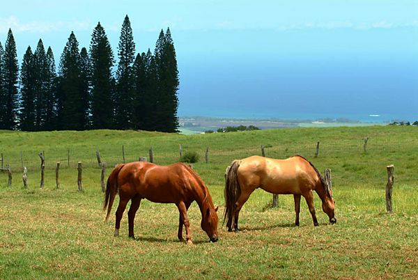 horses, Upcountry Maui