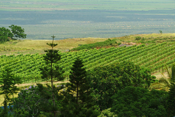 vineyards, Maui