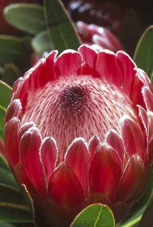 Mink protea, Upcountry Maui