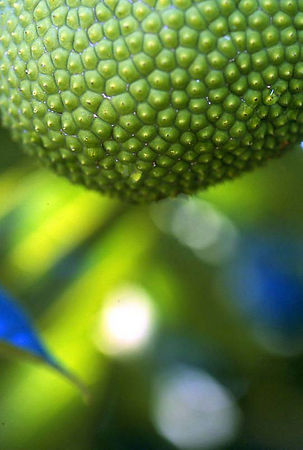 Breadfruit at the Garden of Eden on the Road to Hana, Maui.