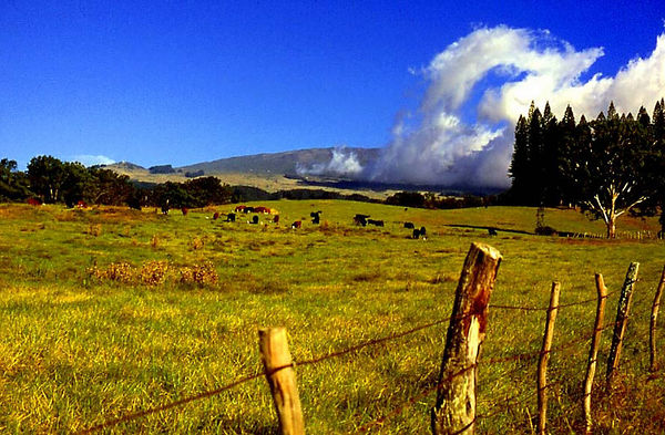 Clouds dance past cows in a pasture in Upcountry Maui, on the slopes of Haleakala volcano.