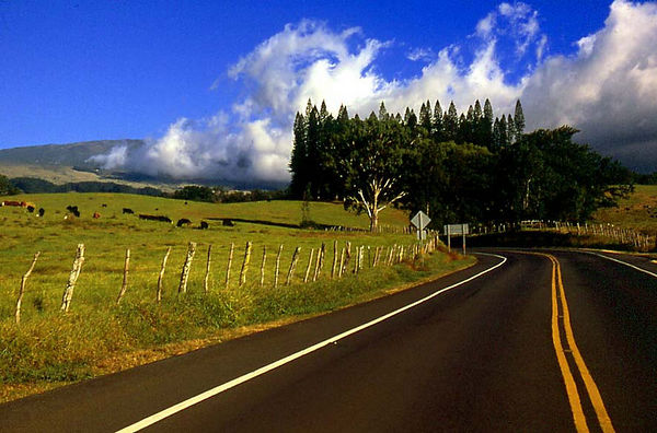 The Haleakala Highway winds past cows in a pasture in Upcountry Maui.