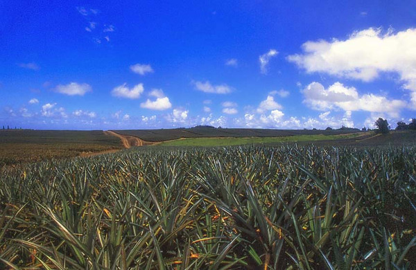 field of pineapples, Maui