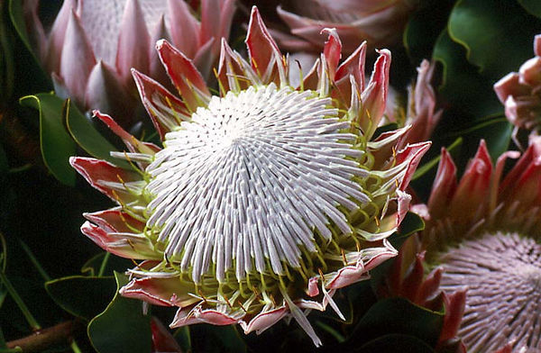 King protea, Upcountry Maui