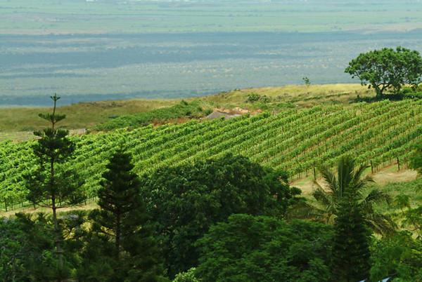 vineyards, Maui
