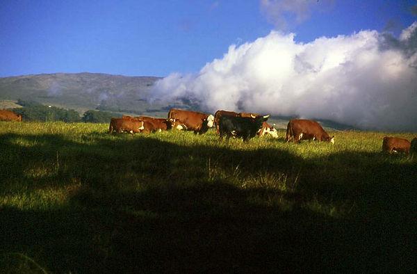 Cattle on the slopes of Haleakala, Maui's Upcountry