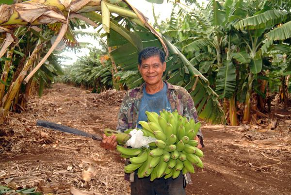 Banana harvest, Oahu