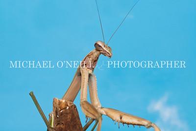 Praying Mantis 3
