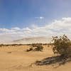 Creosote Brush Grows in Mojave Desert