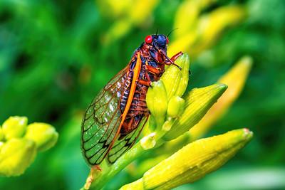 Cicadas Brood X