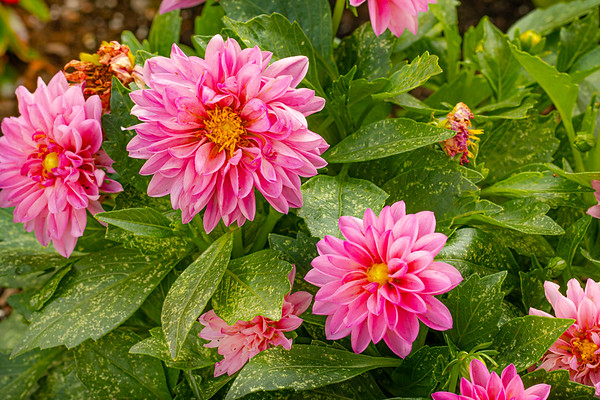 Closeup of Pink Dahlias