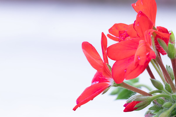 Closeup of Red Geraniums on a White Background