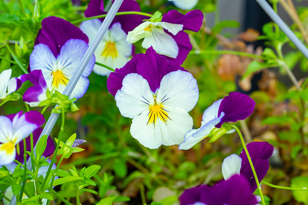 Purple and White Pansies in Spring
