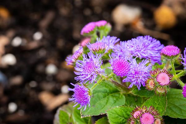 Closeup of Purple Flowers In The Garden