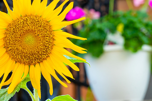 Sunflowers in Spring