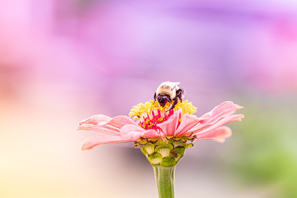Bumblebee on a Pink Zinnia Flower