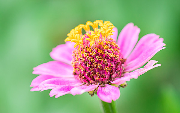 Closeup of a Pink Zinnia Flower