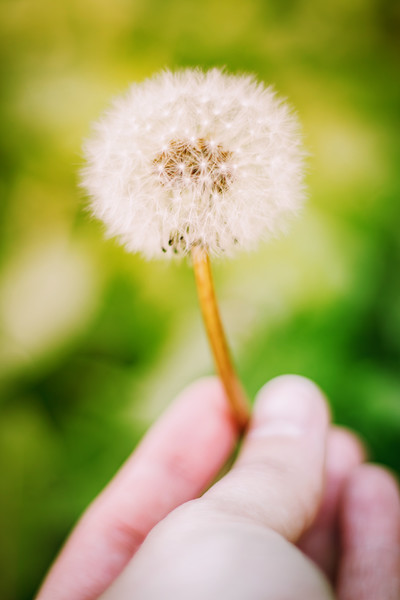 Hand Holding a Dandelion Weed