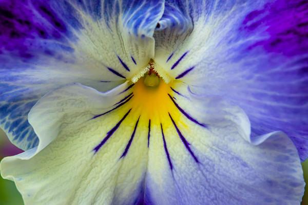 Closeup of a Blue Pansy