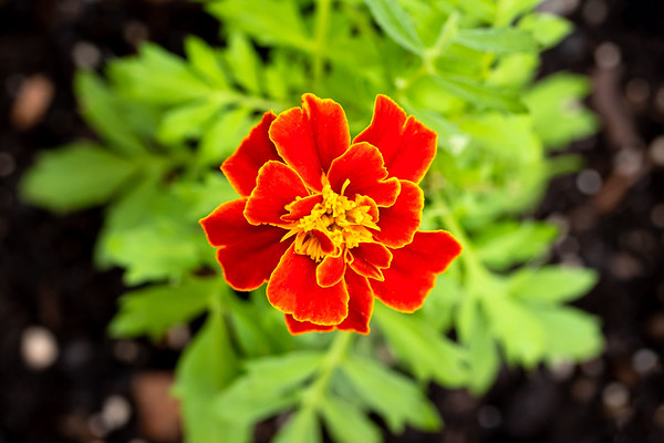 Closeup of a Red Marigold From Above