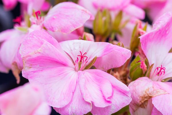 Closeup of Pink Geraniums