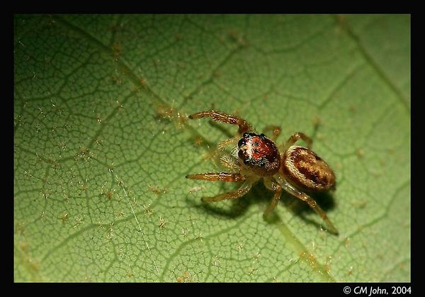 <br> <H2><b>Jumping spider</b></H2> <P ALIGN=LEFT>Small jumping spider hunting for prays on the backside of a tree leaf. Sometimes, it is worth to take the time to slow down and look at the smaller inhabitants of the redwoods.</P> <H5>(Click on picture to enlarge)</H5>