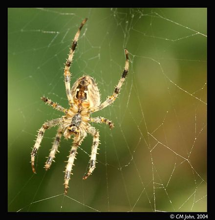 <H2><b>Web spider</b></H2> <P ALIGN=LEFT> Large web spider in a meadow, Neary Lagoon, Santa Cruz.<P>