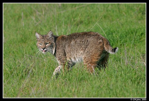 <H2><b>Wild Bobcat</b></H2> <P ALIGN=LEFT>Bobcat (<i>Lynx rufus</i>, Lynx roux, Rotluchs) observed in the wild at the Wilder Ranch State Park during the winter months. <P>