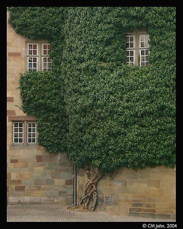 "<br> <H2><b>Ivy on the Altes Schloss</b></H2> <P ALIGN=LEFT>The Altes Schloss (i.e. ""old castle"") used to be the palace of the Kings of Wurttemberg, where all the power resided. It is now a museum of history.<P> <H5>(Click on picture to enlarge)</H5>"