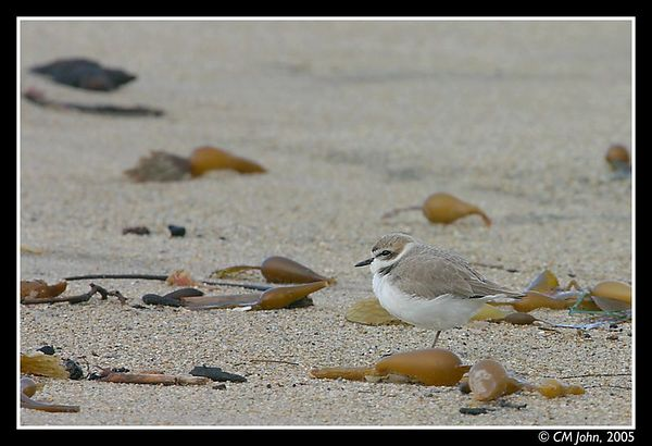<H2><b>Snowy Plover</b></H2> <P ALIGN=LEFT>The Snowy Plover (<i>Charadrius alexandrinus</i>, Pluvier à collier interrompu, Eurasiatischer Seeregenpfeifer) is an endangered specie belonging to the order of the Charadriiformes  and the family of the Charadriidae. This one-legged individual was photographed early in the morning at the Scotts Creek State Beach.</P>