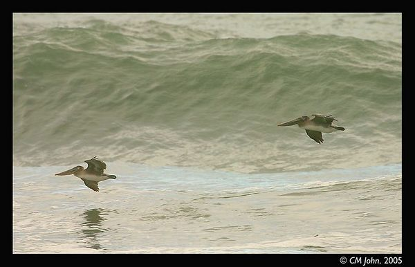 <H2><b>Brown pelicans and surf</b></H2> <P ALIGN=LEFT>Two brown pelicans at Scotts Creek State Beach. The brown pelican is an endangered specie.</P>