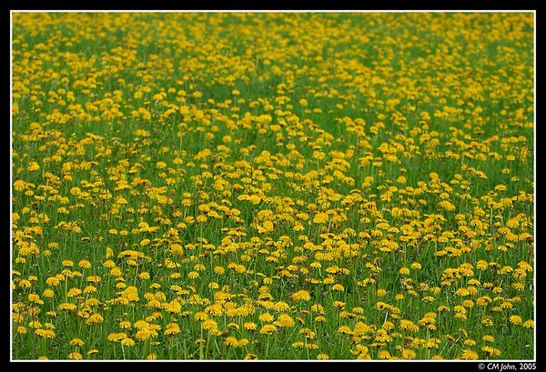 "<H2><b>Dandelion field</b></H2> <P ALIGN=LEFT>The ""Dandelion"" is the most characteristic flower of spring days in the meadows of the Jura mountains. It's golden color contrasts well with the green of the grass.</P>"