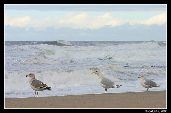 <br> <H2><b>Three gulls waiting for Godo</b></H2> <P ALIGN=LEFT>Taken at the Scotts Creek State Beach, during the winter months.</P> <H5>(Click on picture to enlarge)</H5>