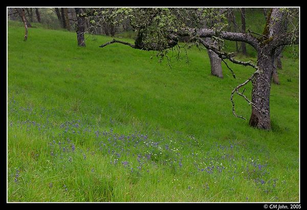 <H2><b>Lupine in a meadow</b></H2> <P ALIGN=LEFT>Lupine growing under oaks in a meadow at the Henry W. Coe State Park.<P>