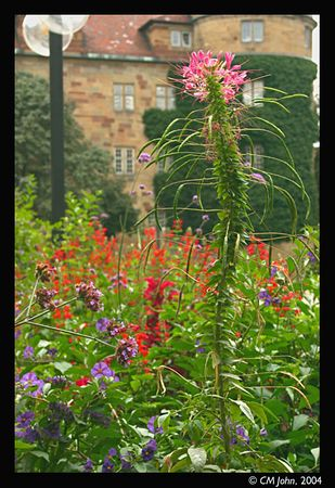 <br> <H2><b>Altes Schlossplatz</b></H2> <P ALIGN=LEFT>Some flowers growing on the square in front of the old castle (Altes Schloss). This is where the weekly market is held.<P> <H5>(Click on picture to enlarge)</H5>