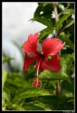 <H2><b>Tropical Flower</b></H2> <P ALIGN=LEFT>Like neighboring Costa Rica, Panama has a rich and interesting tropical rainforest yielding beautiful tropical plants.</P>