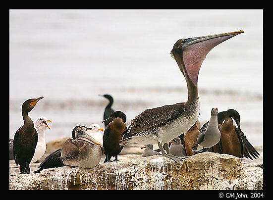 <H2><b>Birds on a rock</b></H2> <P ALIGN=LEFT>Different seabirds on a rock. Double-crested Cormorant (<i>Phalacrocorax auritus</i>, far left. Cormoran à aigrettes, Ohrenscharbe.), two specimen of Brown Pelican (<i>Pelecanus occidentalis</i>, Pélican Brun, Brauner Pelikan), two Western Gulls (<i>Larus occidentalis</i>, background left, Goéland d'Audubon, Westmöwe), and three Heermann's Gulls (<i>Larus heermanni</i>, behind standing pelican, Goéland de Heerman, Heermann-Möwe).</P>