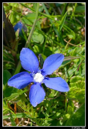 "<H2><b>Blue ""Gentiane""</b></H2> <P ALIGN=LEFT>This small flower is protected. It grows at medium altitudes (1000m), in this case at the Creux-du-Van. You can see this flower pictured on many Swiss products.</P>"