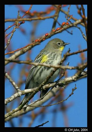 <H2><b>Yellow-Rumped Warbler</b></H2> <P ALIGN=LEFT>Female Yellow-Rumped Warbler (<i>Dendroica Coronata</i>, Paruline à croupion jaune, Kronwaldsänger) photographed at the Neary Lagoon, Santa Cruz county. </P>