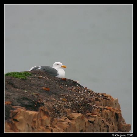 <br> <H2><b>Western Gull on a cliff</b></H2> <P ALIGN=LEFT> Western Gull (<i>Larus occidentalis</i>, Goéland d'Audubon, Westmöwe) resting on top of a cliff.  This gull, photographed in winter at the Wilder Ranch State parkm belongs to the order of the Charadriiformes , family of the Laridae. </P> <H5>(Click on picture to enlarge)</H5>