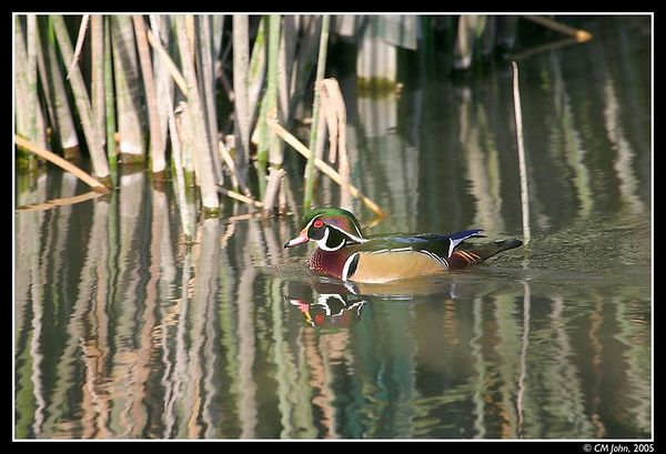 <br> <H2><b>Wood Duck</b></H2> <P ALIGN=LEFT>What duck could be more colorful than this Wood Duck (<i>Aix sponsa</i>, Canard branchu, Brautente)? Taken at the Neary Lagoon. <P> <H5>(Click on picture to enlarge)</H5>