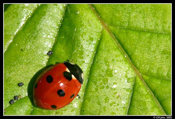 "<H2><b>Lady Bug</b></H2> <P ALIGN=LEFT>Lady bugs are very common in May in this part of the world, they are a blessing since they eat all sorts of pest. As a matter of fact, people affectinately call them ""Bete a Bon Dieu"", i.e. Animal of god.</P>"
