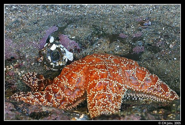 <H2><b>Starfish</b></H2> <P ALIGN=LEFT>Many organisms can be observed at low tide at Scotts Creek State Beach, such as this large starfish.</P>