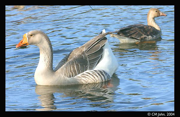 <br> <H2><b>Greater White-fronted Goose</b></H2> <P ALIGN=LEFT>Greater White-fronted Goose (<i>Anser albifrons</i>, Oie rieuse, Bläßgans) photographed at Neary lagoon in fall. This goose belongs to the order of the anseriformes and the family of the anatidae. The larger individual is a male, the smaller a female.  <P> <H5>(Click on picture to enlarge)</H5>